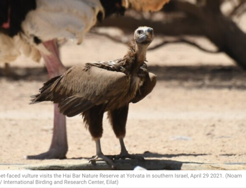 Vulture thought extinct from Israel for 30 years spotted twice in a month